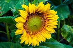 Sunflower. A fully open sunflower before sunset royalty free stock photography