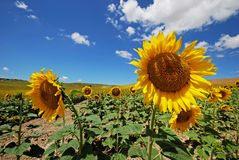 Sunflower field, Andalusia, Spain. Fully open sunflowers growing in a Spanish field, Medina Sidonia, Cadiz Province, Andalusia, Spain, Western Europe Royalty Free Stock Photos