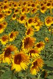 Sunflower field, Medina Sidonia, Spain. Royalty Free Stock Images