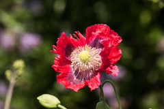 Fully open varigated poppy Stock Photo