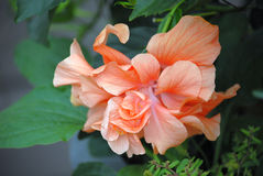 Fully opened double Hibiscus bloom in Salmon color. Double Hibiscus bloom hanging from the planter in full bloom close up with lots of petals in natural light royalty free stock photo