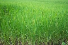 Fully rice in field royalty free stock photo