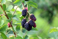 Fully ripe blackberry fruit on to small branches surrounded with light green leaves. Fully ripe blackberry fruit still holding on to small branches surrounded royalty free stock photography