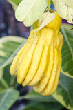 Fully ripe Fingered Citron or Buddha Hands. The rind can be candied & in Asia, it is used to freshen or scent rooms Stock Photos