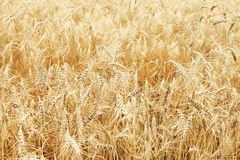 Fully ripe wheat field Royalty Free Stock Images