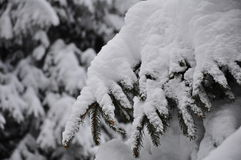 Fully snowy fir  tree branch Stock Images