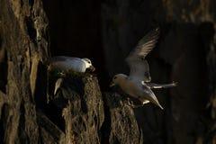 Fulmar που προσγειώνεται στην άκρη απότομων βράχων από άλλη fulmar Στοκ Εικόνες
