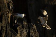 Fulmar που προσγειώνεται στην άκρη απότομων βράχων από άλλη fulmar Στοκ Εικόνα