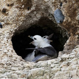 Fulmar Royalty Free Stock Image