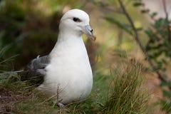 Fulmar auf seinem Nest lizenzfreies stockfoto