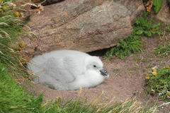 Fulmar chick (Fulmarus glacialis) Stock Photo