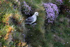 Fulmar. On cliff at Deerness, Orkney, Scotland Royalty Free Stock Image