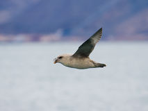 Fulmar do norte fotos de stock royalty free