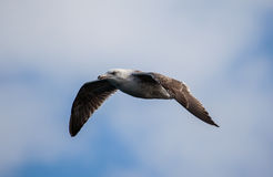 Fulmar du nord Photos stock
