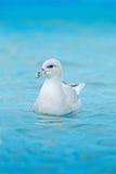 Fulmar du nord, glacialis de Fulmarus, oiseau blanc dans l'eau bleue, glace à l'arrière-plan, le Svalbard, Norvège Photographie stock
