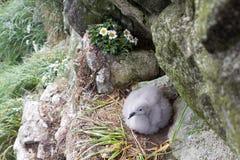 Fulmar female sits on single egg for incubation 2 Stock Image