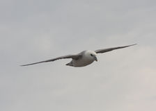 Fulmar. The Northern Fulmar, Fulmarus glacialis or Arctic Fulmar in flight. A bird or seabird, flying, soaring in the sky with clouds Stock Photo