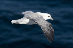 Fulmar (Fulmaris glacialis) in flight Royalty Free Stock Image