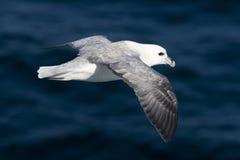 Fulmar (Fulmaris glacialis) in flight Royalty Free Stock Image