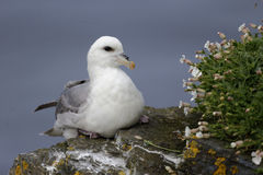 Free Fulmar, Fulmarus Glacialis Royalty Free Stock Photo - 42978885