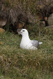 Fulmar, Fulmarus glacialis Stock Photos