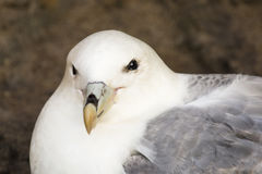 Fulmar (Fulmarus glacialis) Royalty Free Stock Photo