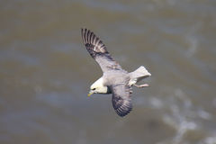 A Fulmar gliding on the thermals. Royalty Free Stock Photos