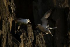 Fulmar landing on cliff edge by another fulmar Stock Photo