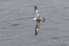 Fulmar light morphs hovering near colonies Royalty Free Stock Images