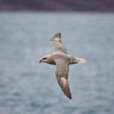 Fulmar nordique Images stock