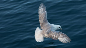 Fulmar Stock Images