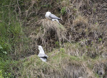 Fulmar seabirds nesting on cliff Stock Photos