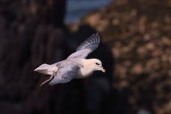 Fulmar septentrional en vuelo sobre los acantilados 1 de la isla de Skokholm Imagen de archivo