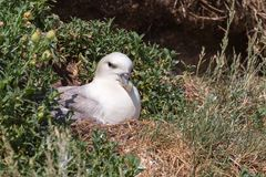 Fulmar sitting on nest in wild habitat Stock Image