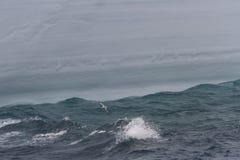 Fulmar skimming water Stock Photography