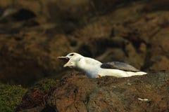 Fulmar squawking on cliff ledge at Hawkcraig Aberdour Scotland. A Fulmar squawking on the cliffs at Hawkcraig, Aberdour royalty free stock images
