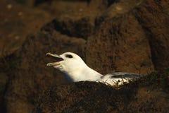 Fulmar squawking on cliff ledge at Hawkcraig Aberdour Scotland. A Fulmar squawking on the cliffs at Hawkcraig, Aberdour royalty free stock image