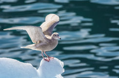 Fulmar  takes off from the tip of an iceberg in the Disko Bay, G Stock Photography