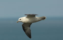 Fulmar. Royalty Free Stock Photography