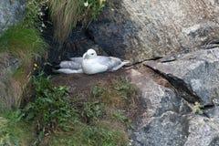 Fulmars auf ihrem Nest stockfoto