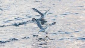 Fulmars flee before takeoff Stock Photo