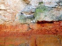 Fulmars nesting at the stratas edge Stock Images