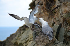 Fulmars Royalty Free Stock Images