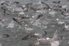Flock of Fulmar birds taking off. Fulmarus glacialis -flock of Northern Fulmar birds taking off, splashing, flying. Fulmars are part of the Petrel family Royalty Free Stock Photography