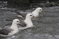 Fulmars Royalty Free Stock Photography