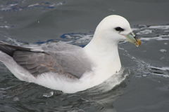 Fulmarus glacialis - Northern Fulmar. Part of the Petrel family,shot in Husavik harbour, Iceland - 2013 stock image