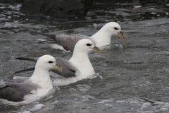 Fulmarusglacialis - Noordelijke Noordse stormvogel Royalty-vrije Stock Fotografie