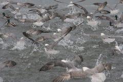 Fulmarusglacialis - troep van Noordelijke Noordse stormvogel Royalty-vrije Stock Fotografie