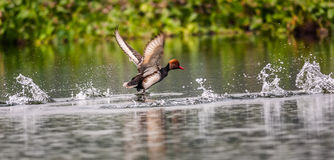 Fulugule milouin à crête rouge, oiseau, canard de plongée, rufina de Rhodonessa, takin Image libre de droits