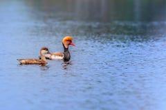 Fulugules milouins à crête rouge, migrateurs, oiseau, canard de plongée Photographie stock libre de droits